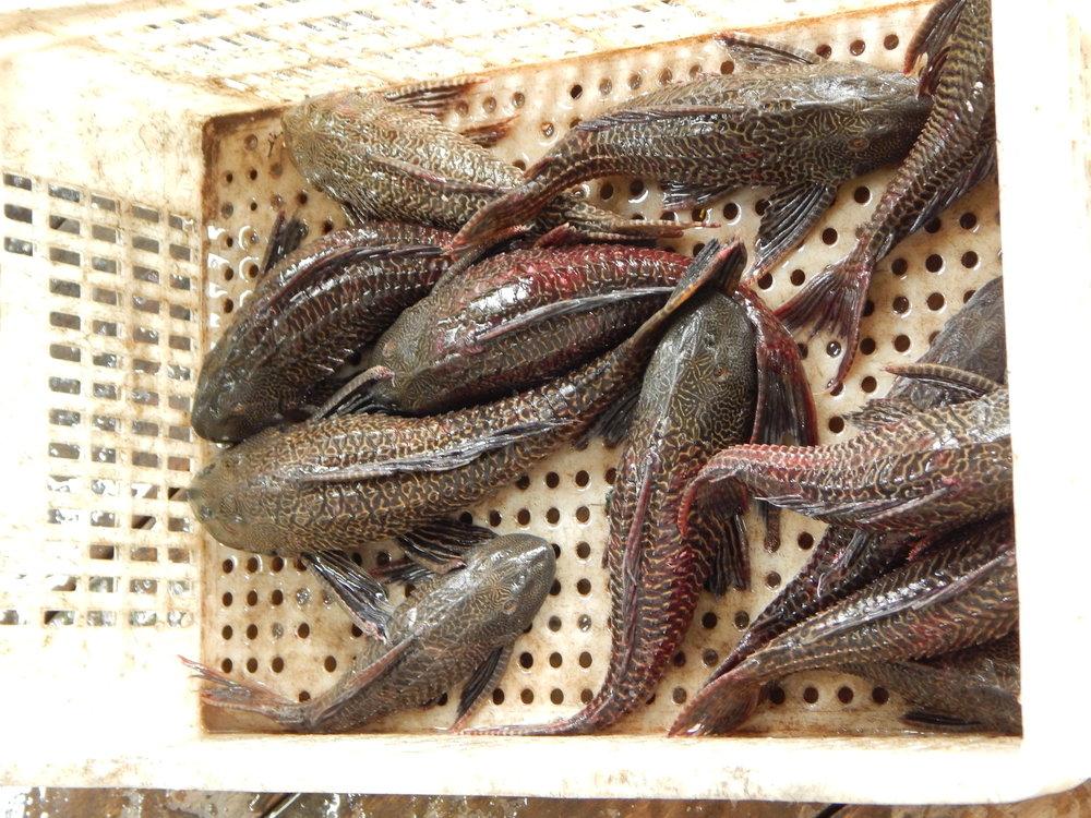 Escassez tem sido uma realidade na vida dos moradores. Peixes estão cada vez menores e em menor quantidade.