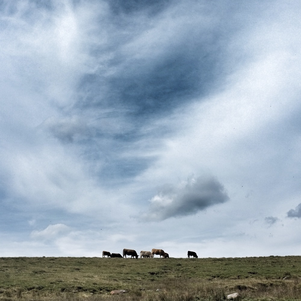 Cows, fields, and sky.