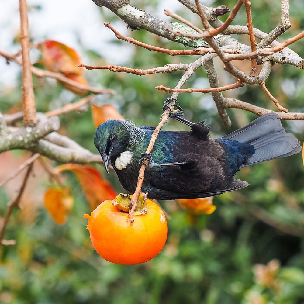 Tui feeding on persimmon, NZ
