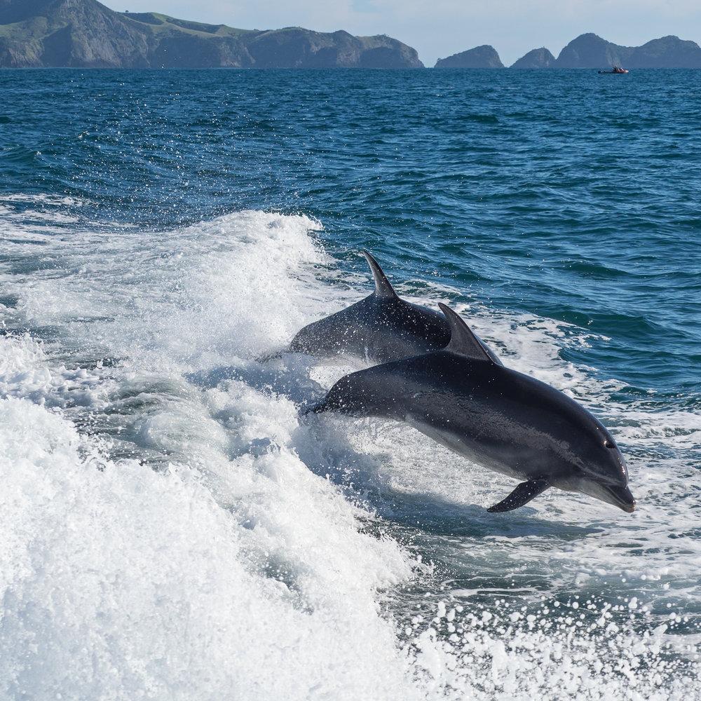 Bottlenose dolphins. Bay of Islands, NZ. P4251207