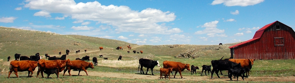 Montana rancher moving cattle to new pasture