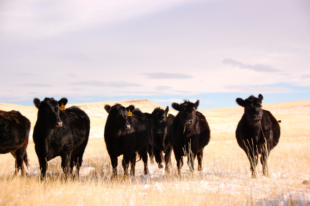 Black angus on winter pasture on ranch in Montana