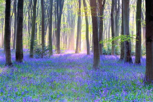 Bluebell-Wood-Landscape.jpg