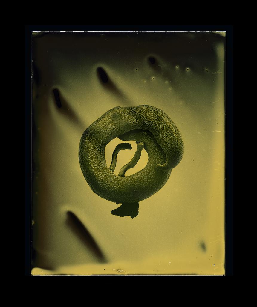 Schistosoma mansoni (mating)