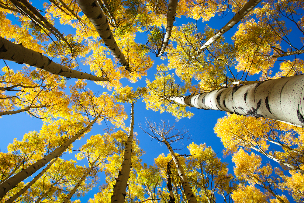 Aspen Trees, Aspen, Colorado