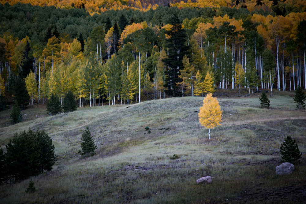 Autumn Aspens in Vail, Colorado