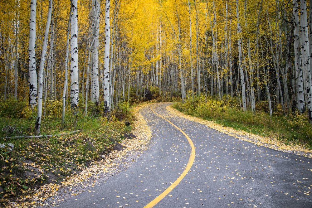 Golden Aspens line a snaking path into the woods in Vail, Colorado