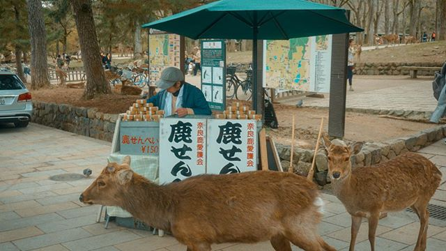 You can also feed the deers with deer cookies. One pack will cost you ¥150. Just be prepared to be heavily invaded by this persistent flock when they know that you got some treats for them. :))