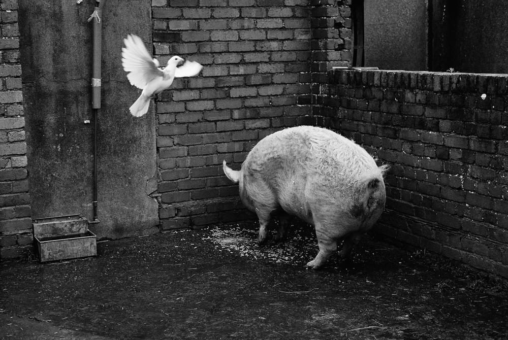 13 Pig & Dove.jpg