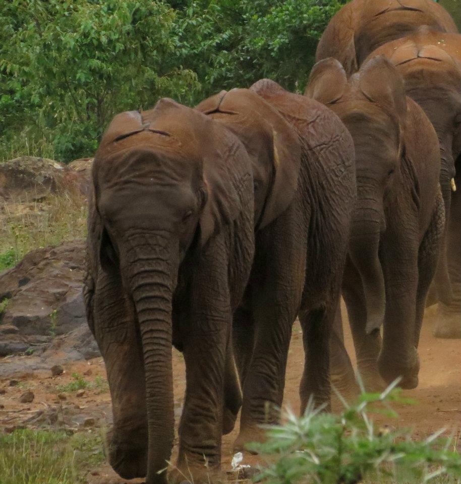 elephant-orphans