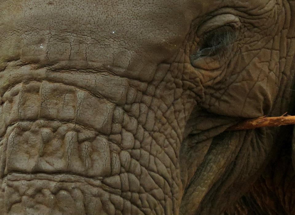kenyan-elephant
