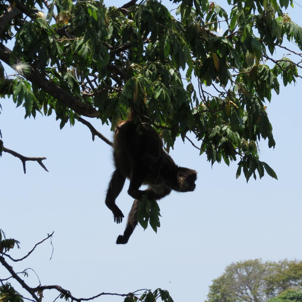central-america-spider-monkey