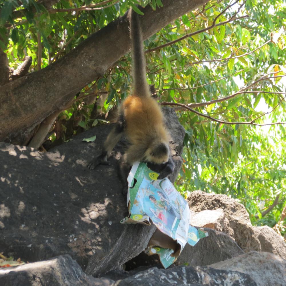 nicaragua-spider-monkey-isleta