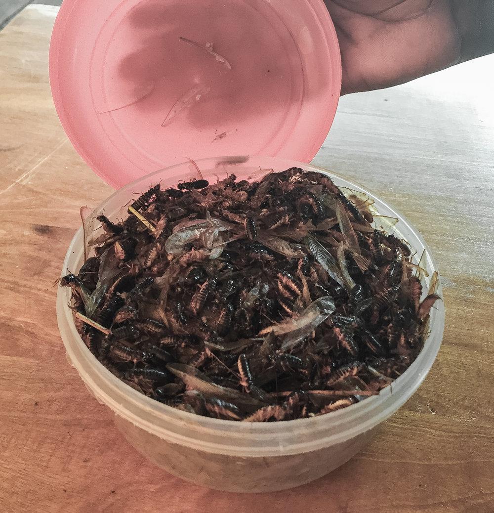 roasted-african-termites-uganda