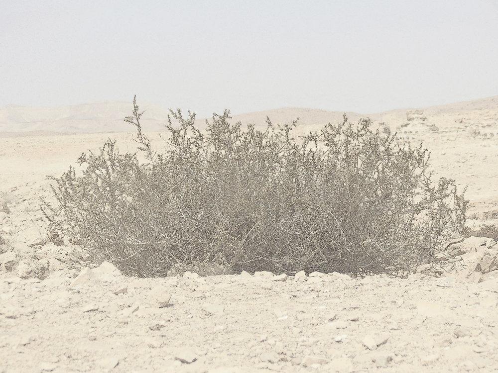 desert-bush