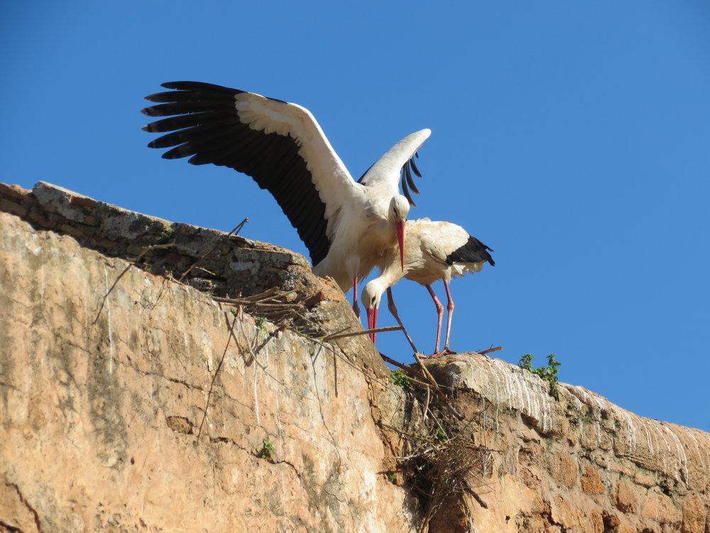 Cranes at Chellah, Rabat, Morocco.
