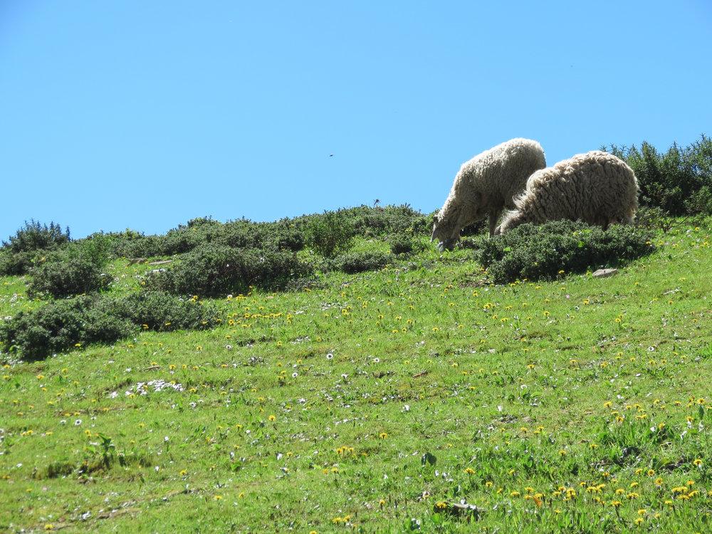 Sheep graze on lush green grass along the hillsides near Chefchaouen, Morocco.