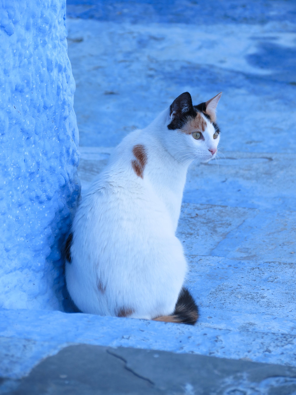 A cat sits against the blue-washed walls of Chefchaouen, Morocco.