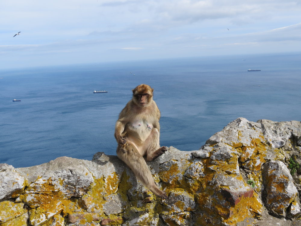 Barbary Macaques can be aggressive to tourists on the Rock of Gibraltar.