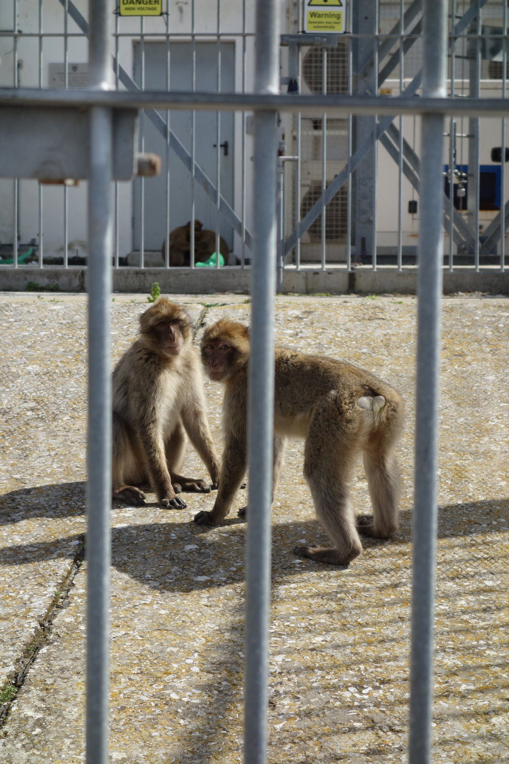 Monkeys on the Rock of Gibraltar can be a nuisance to tourists. Aggressive at times, watch your back for the barbary macaqueswhile visiting Gibraltar.
