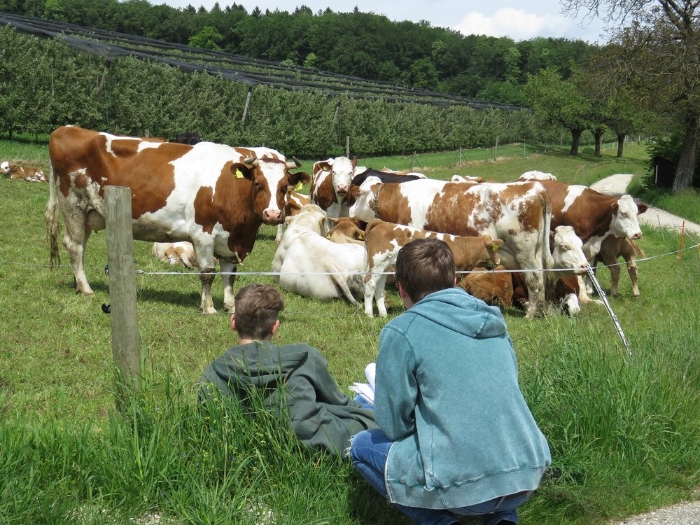 Do cows purify cellulose? (LA 22): Pupils observing chewing activity of cows to examine digestibility of different forages (photo: Eric Wyss)