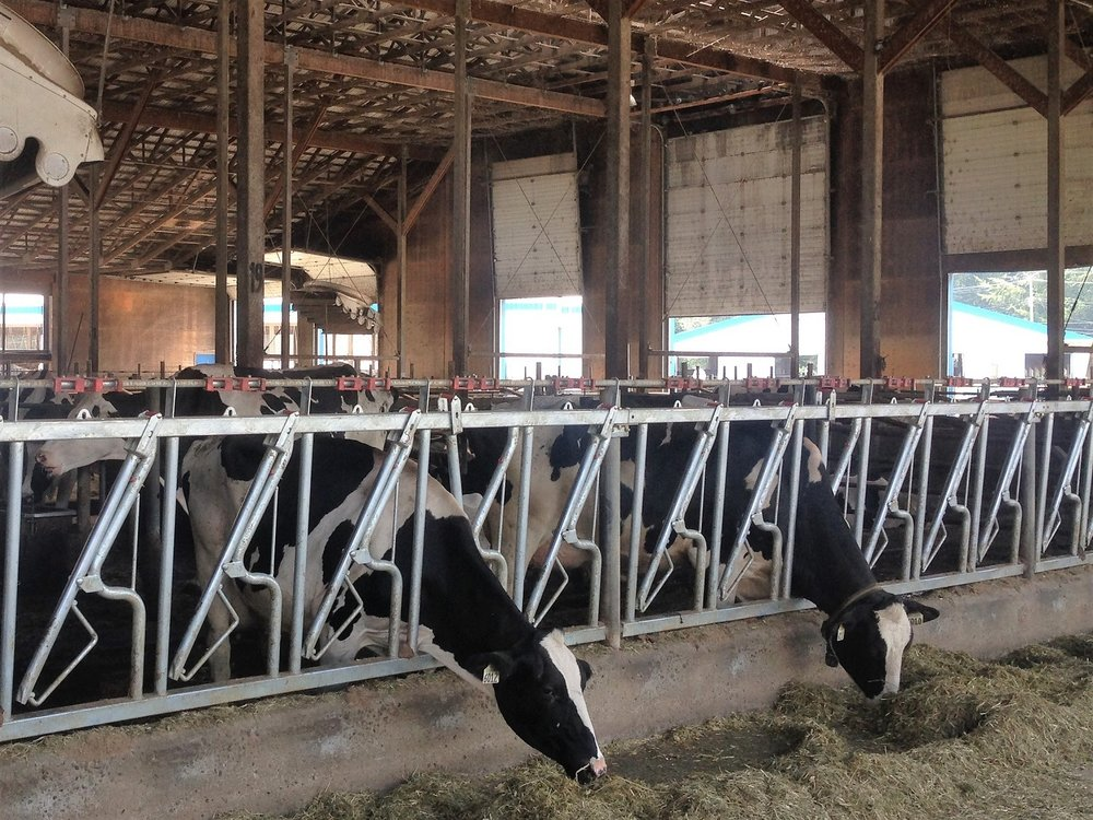 Inside the dairy barn at the Federal Government Dairy Research Center, Agassiz, BC, Canada. (photo: Sergei Schaub)