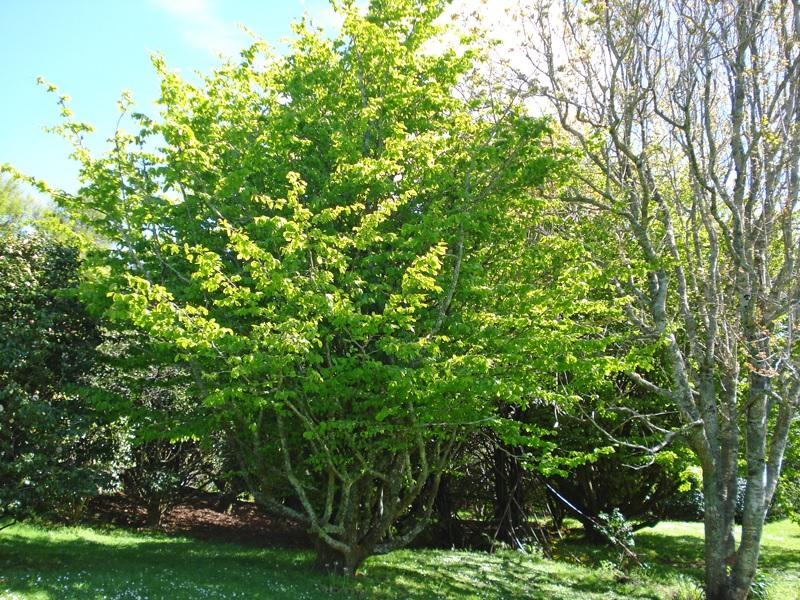 Persian Ironwood  ( Parrotia persica )