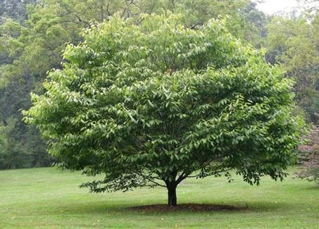 American Hornbeam  ( Carpinus caroliniana )