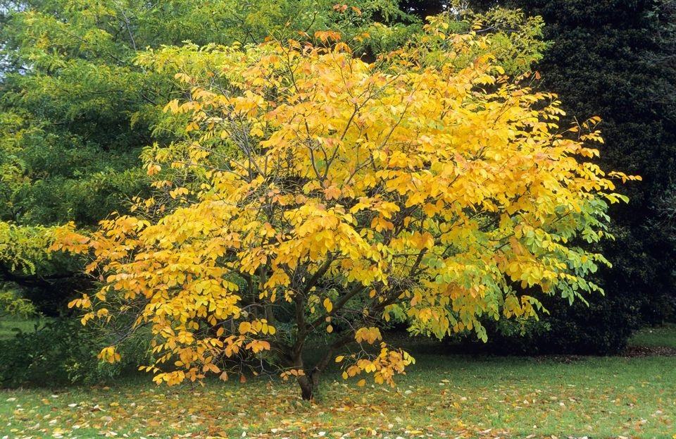 Yellowwood  ( Cladrastis lutea )
