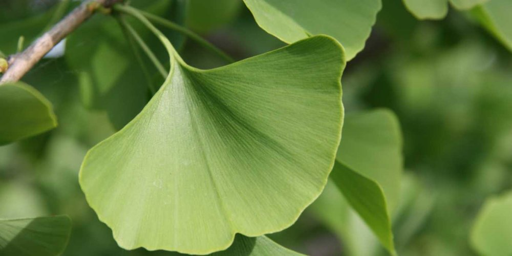 gingko-biloba-leaves-2.jpg