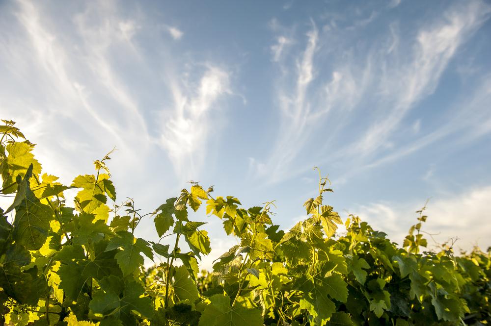 Lange's Vines