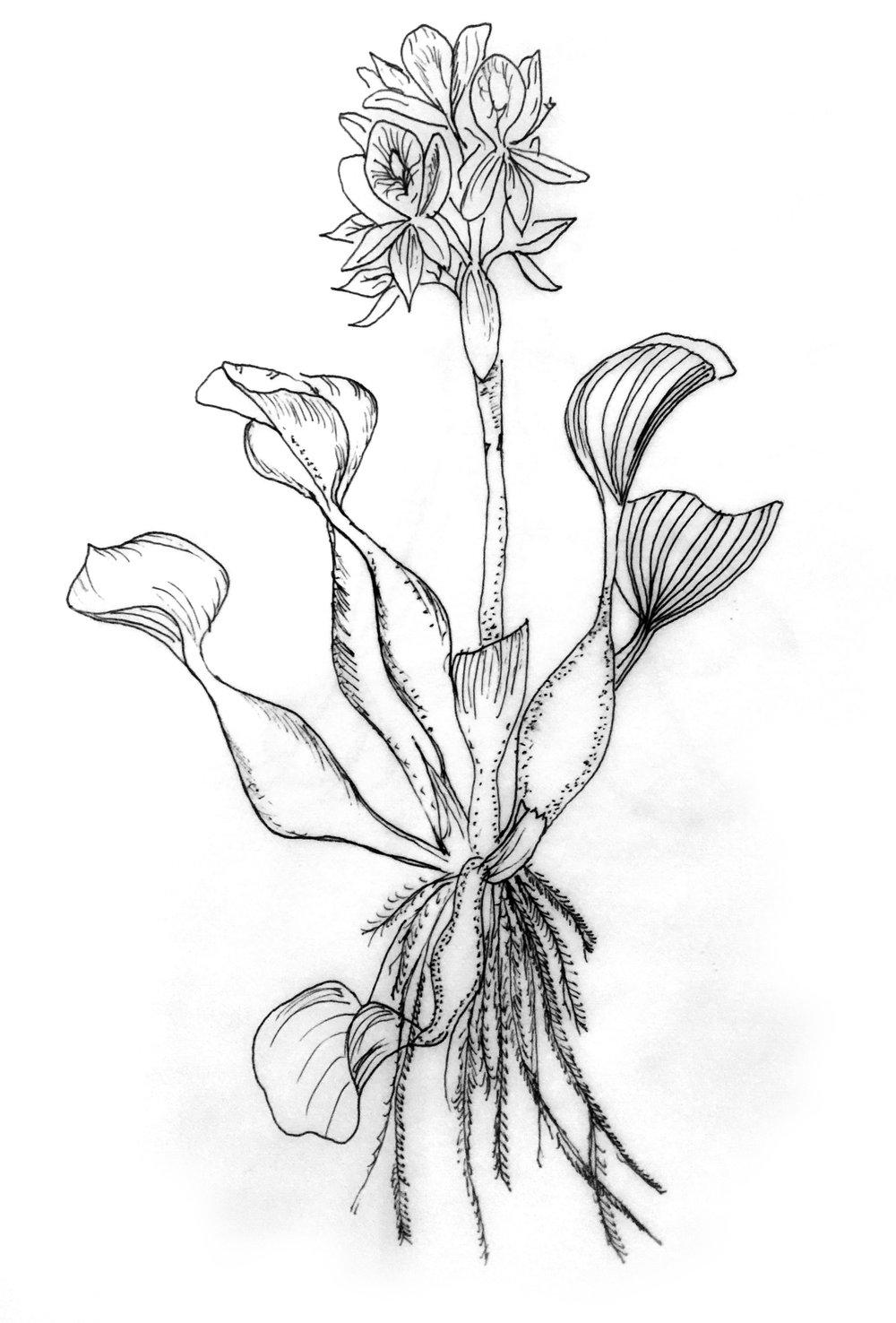 Formación vegetativa (Jacinto de Agua)