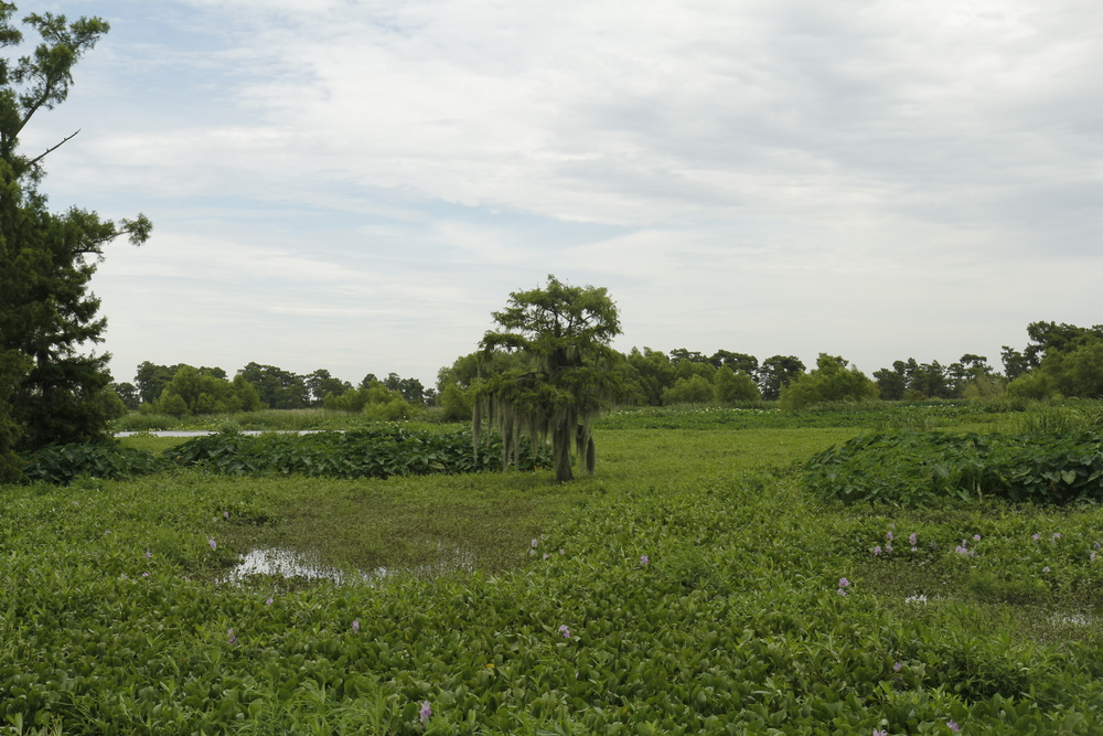 Willow tree and wetland plants in Wax Lake Delta.