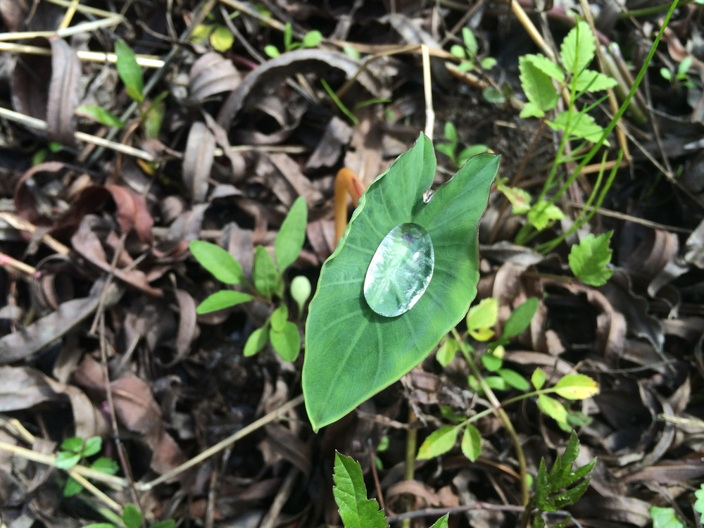 Large water droplet on a wetland plant leaf.