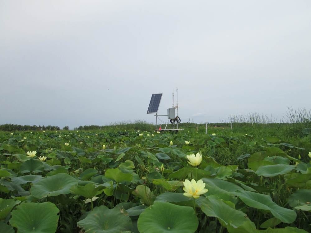 Observation platform in patch of blooming lotus.