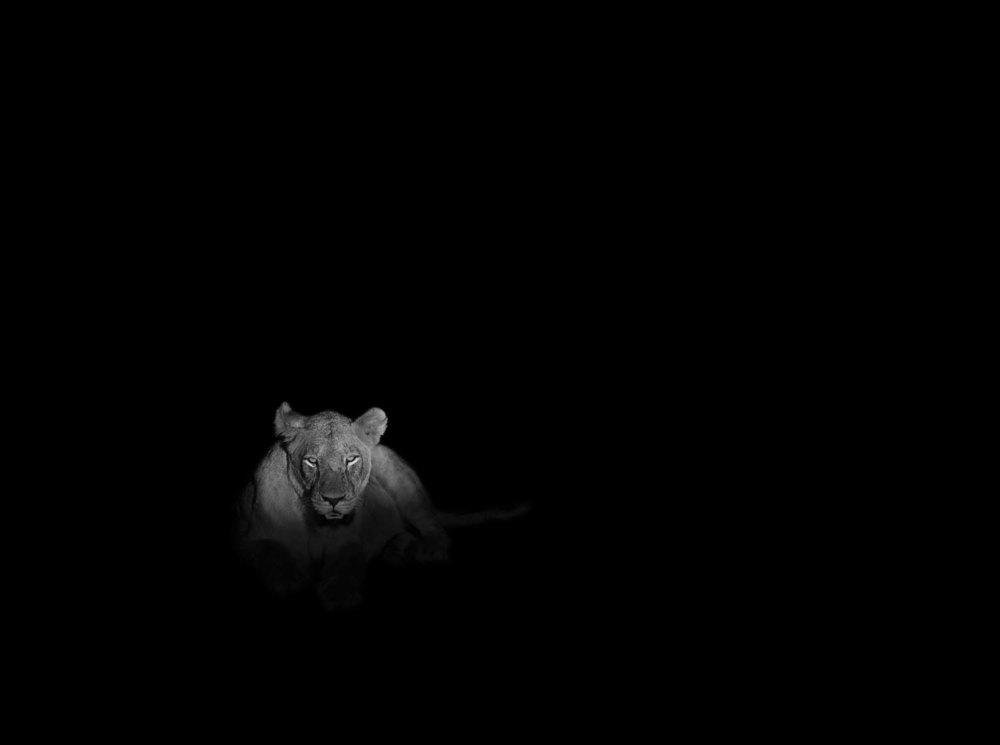 Dirk_Hobman_Lion_At_Night_2015.jpg