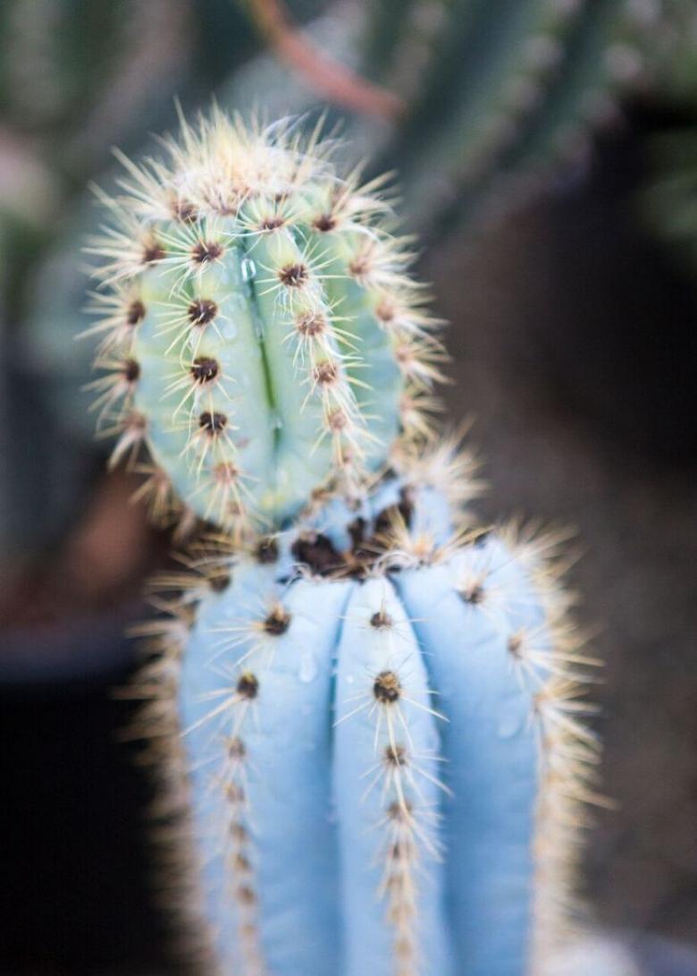 The Pilosocereus Pachycladus