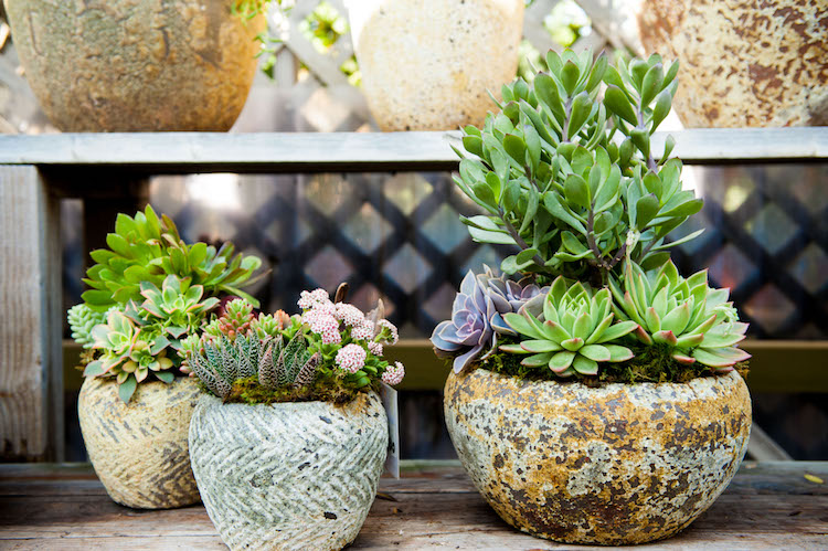 The green-blue Echeveria elegans succulent makes a statement in the pot on the far right.