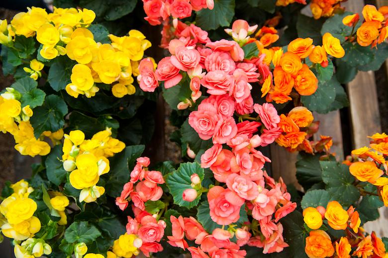 Begonia Reiger
