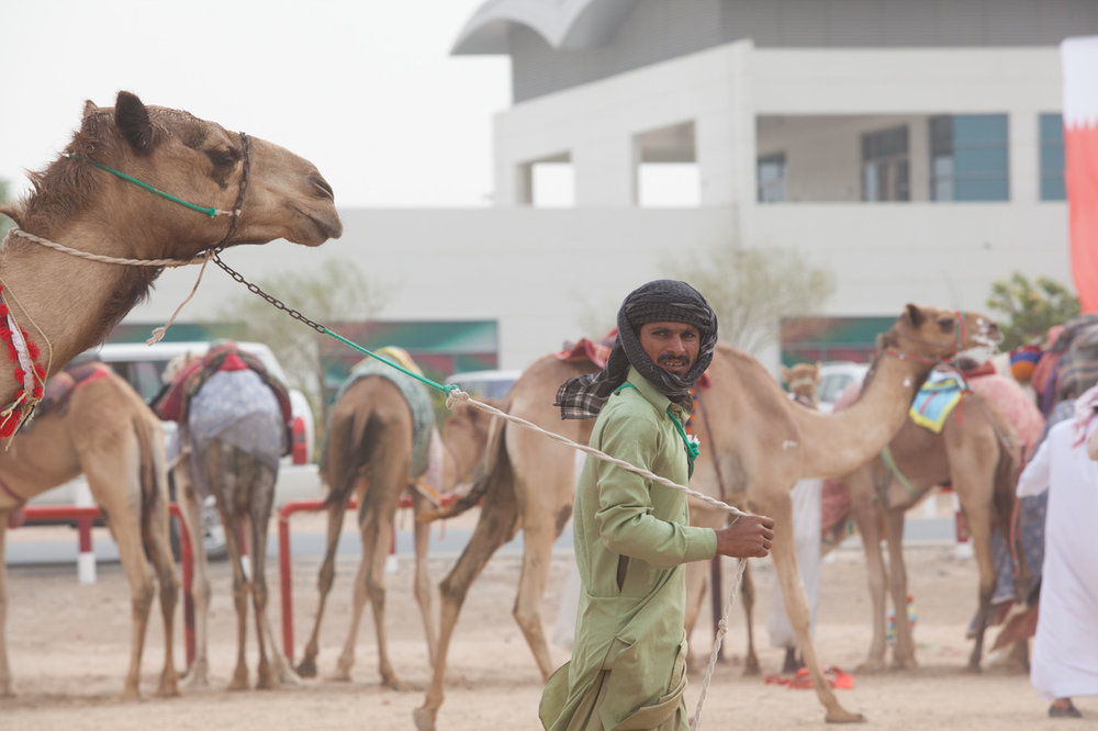 A man pulls his camel in preparation for the famous Camel Races of Dubai. Photo by Lucille Khornak.