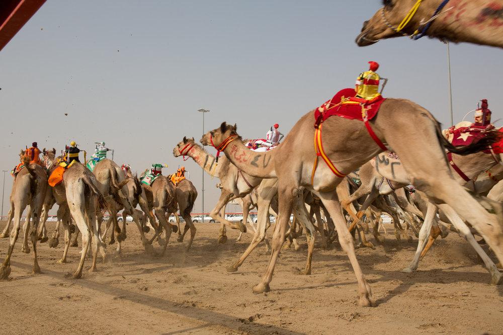 The famous Camel Races of Dubai. Photo by Lucille Khornak.