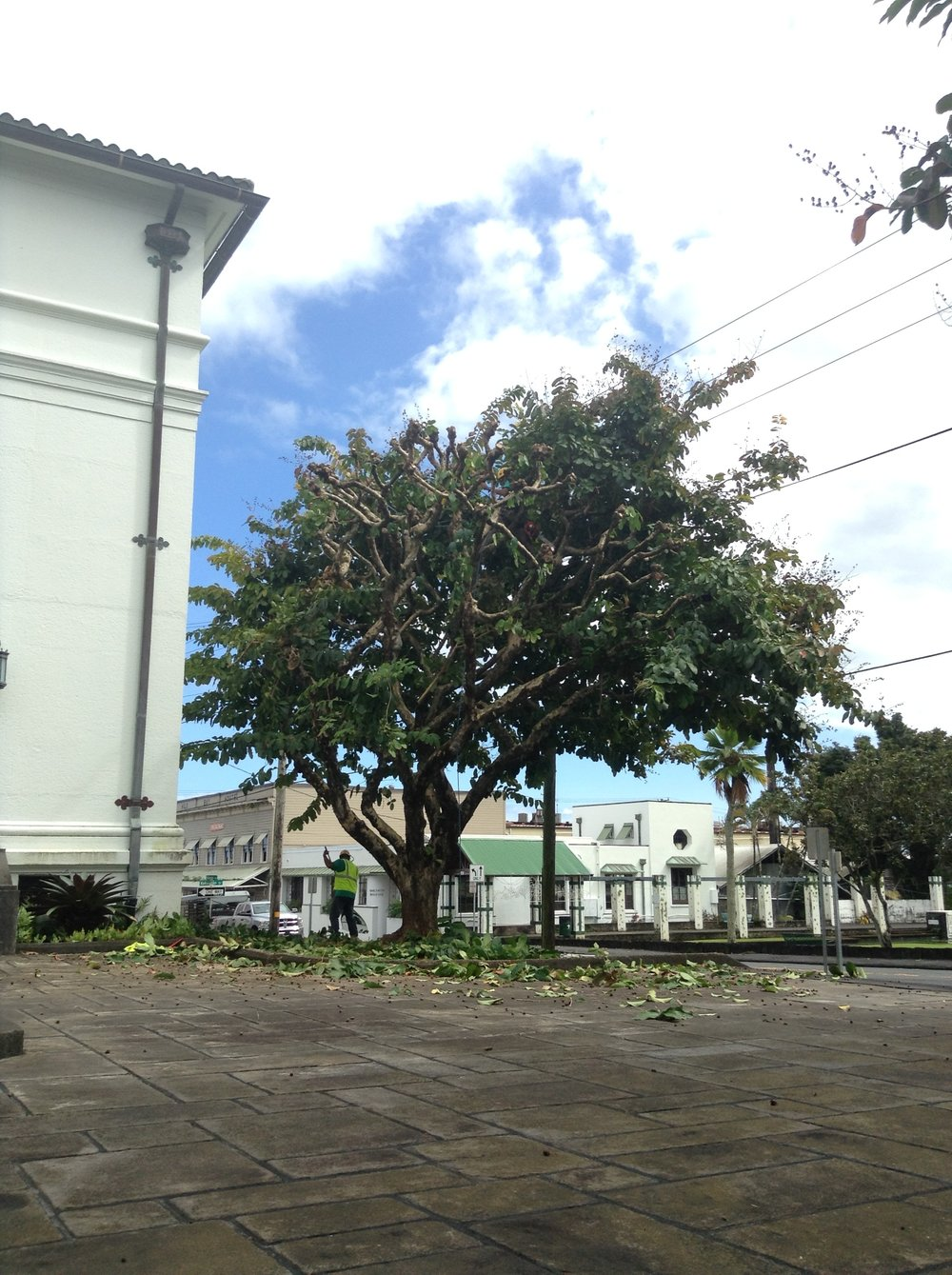 Crape myrtle pruning - downtown hilo