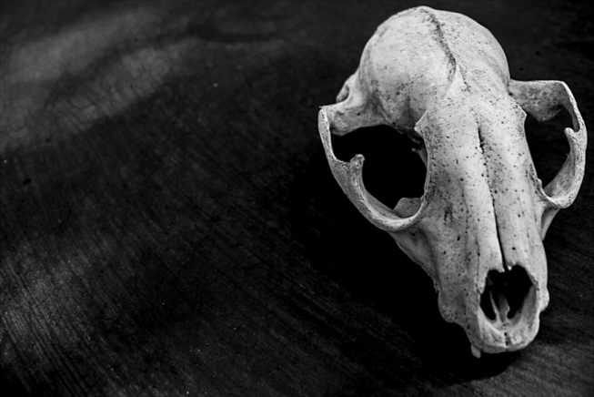 coyote skull.png