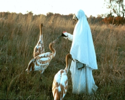 Operation Migration   has played a lead role in the reintroduction of endangered Whooping cranes into eastern North American.