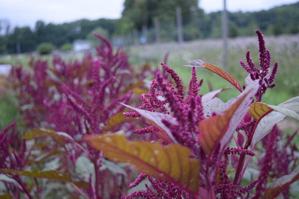 burgundy amaranthus