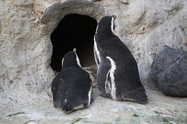 I think they are plotting against us. #penguins #twoofakind #sanfranciscozoo #penguinisland #webetterwatchout #troublemakers
