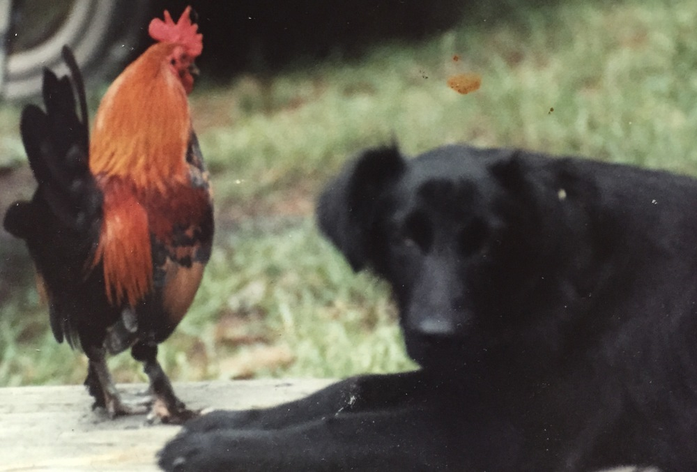 Pictured, at left, my late great bantam rooster, Foxbait, with his pal, Cricket