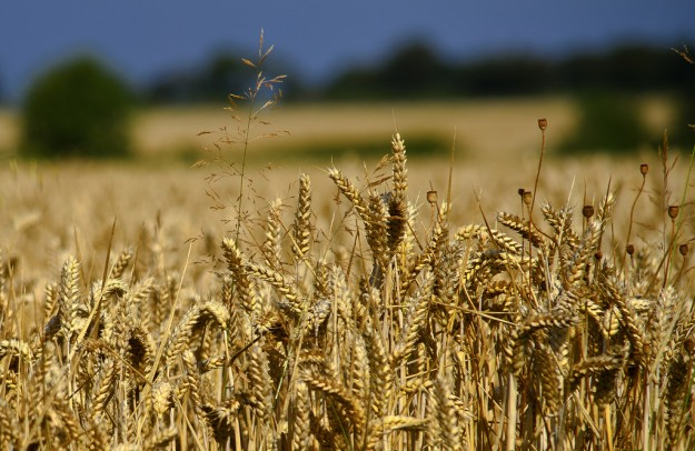wheat, farming, genetic modification, genetically modified
