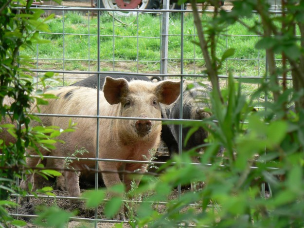 pigs, farmers, antibiotics, health,
