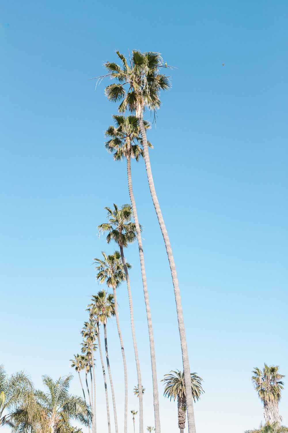 row of beautiful palm trees on a sunny day in Ocean Beach, San Diego. Southern California is the perfect place to have family photos taken if you live here or on vacation!